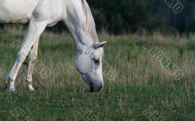 Peaceful Arabian Horse
