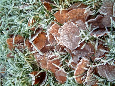 Frosty grass with beech leaves