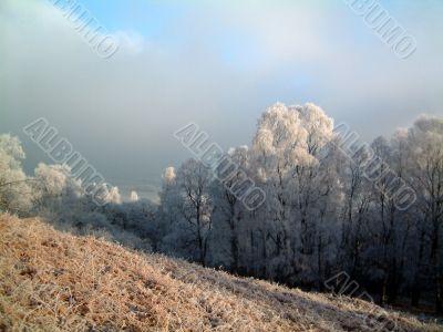 Frosty woodland trees