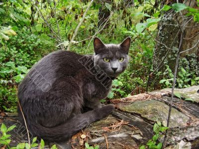 Gray cat in forest