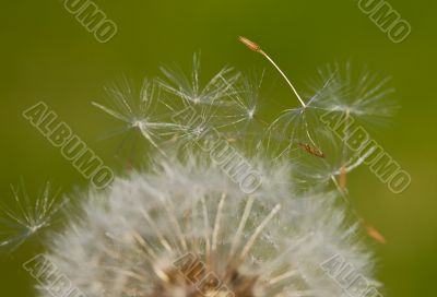 Dandelion (Focus in the seed)