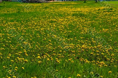 dandelion-meadow