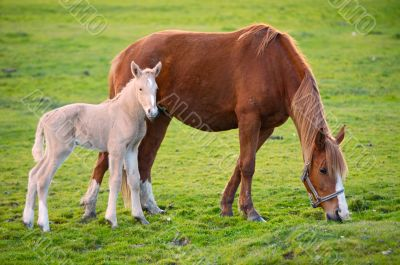 horse with its son eating grass