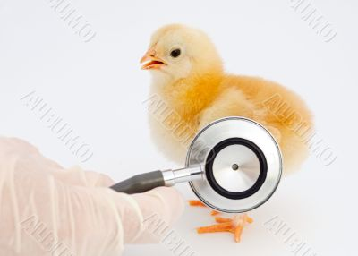 ill chick of influenza