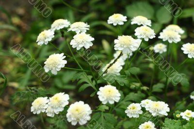 Wood flowers during years flowering