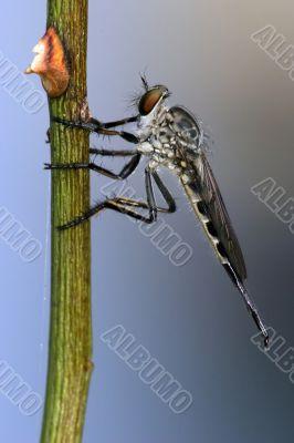 predatorfly on a stem