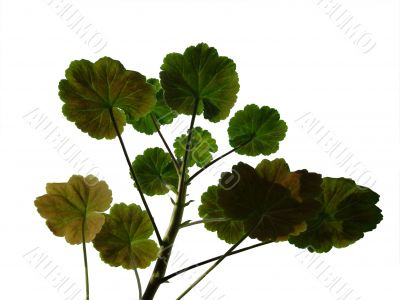 Geranium leaf 3