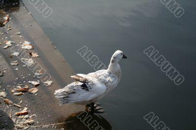 Duck on a Ledge