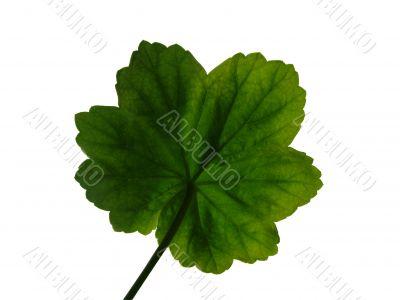 Geranium leaf 4