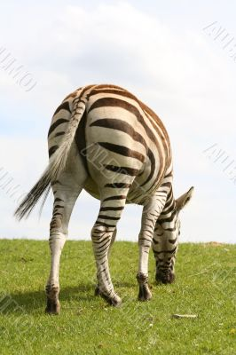 back shot of zebra