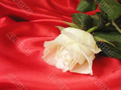 White rose on red satin