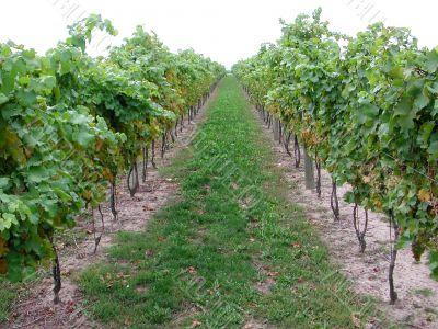 Vineyard for ice wine