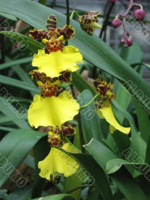 Yellow dancing lady orchid