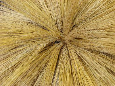 Yellow barley harvest background