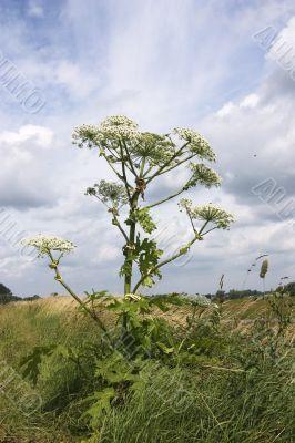 hogweed or cow parsnip