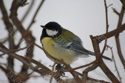 tits in winter