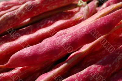 Borlotti bean pods drying in close up