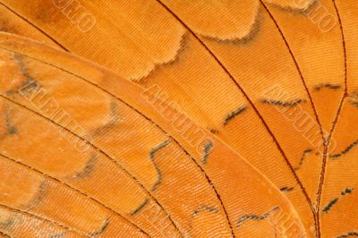 butterfly wing extreme closeup