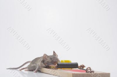 Dead Mouse in a Trap