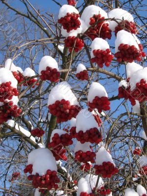 Snowy Snowball-tree Berry Bunch