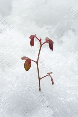 plant congealed by the cold