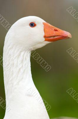 duck in freedom