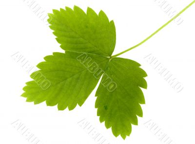 green leaf of wild strawberry
