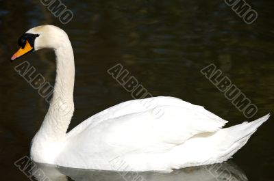 swan in freedom