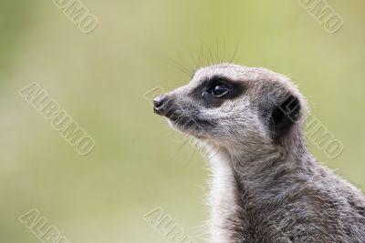 single meerkat
