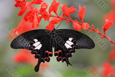 malaysian butterfly (Papilio helenus)