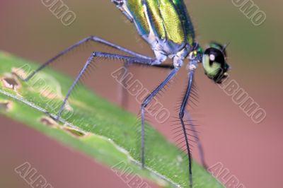dragonfly closeup (Ischnura species)