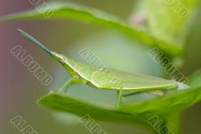 mimetic grasshopper (Acrida conica)
