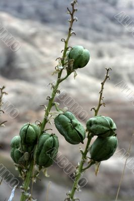 Flower pods badlands