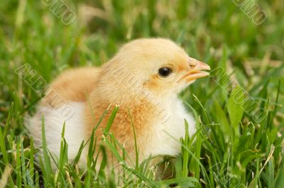 adorable chick