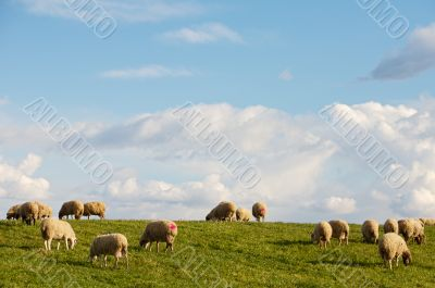 ewes eating in the field