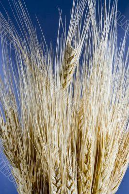 Wheat close