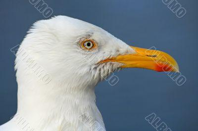 Seagull profile