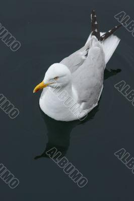 Swimming Seagull