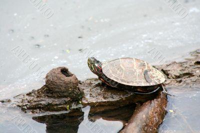 Painter Turtle on a log