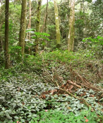 Brazilian tropical forest