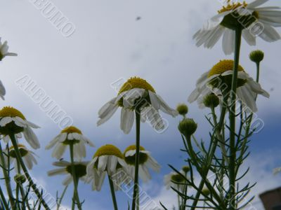 camomiles and sky