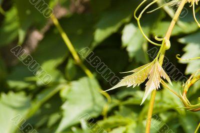 Branch of green hop