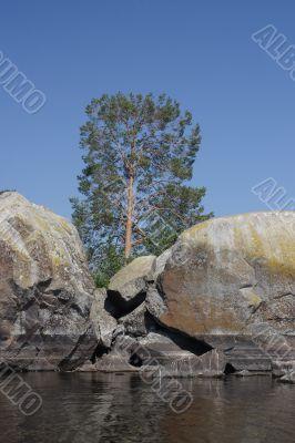 Pine-tree among granite rocks