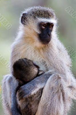 velvet monkey and baby