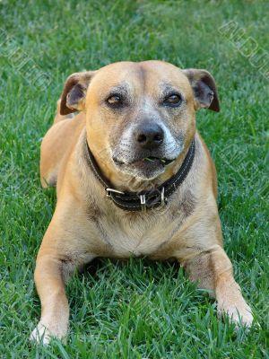 staffi pure breed dog