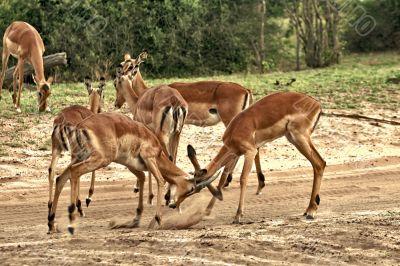 Deer, impala antelope  fighting