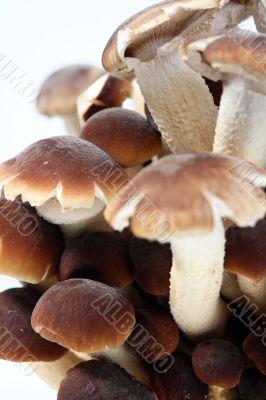 Southern Poplar Mushroom