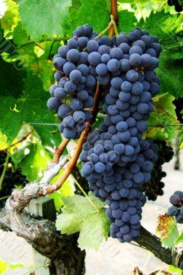 Grape cluster on a vine