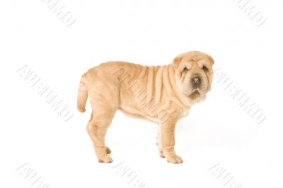 Standing sharpei pup