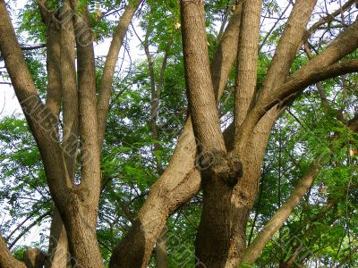 Trunks of trees.  Acacia